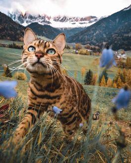 Фото Бенгальская кошка в траве с цветами, by sukiicat