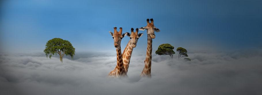 Фото Три жирафа выглядывают из облаков, by Henri Van Ham