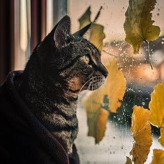 Фото Кошка смотрит в окно, на стекле которого осенние листья и капли дождя, by Felicity Berkleef