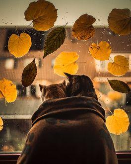 Фото Кошки смотрят в окно, на стекле которого осенние листья и капли дождя, by Felicity Berkleef
