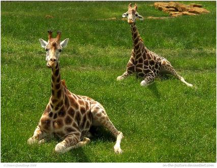Фото Жирафы отдыхают, лежа на траве