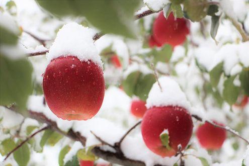 Фото Красные яблоки в снегу
