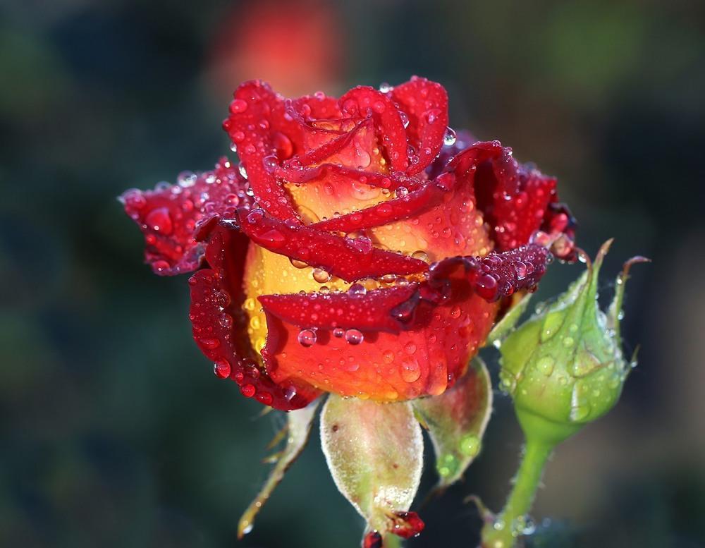 Фото Красная роза в каплях росы. Фотограф Нилла Шарафан