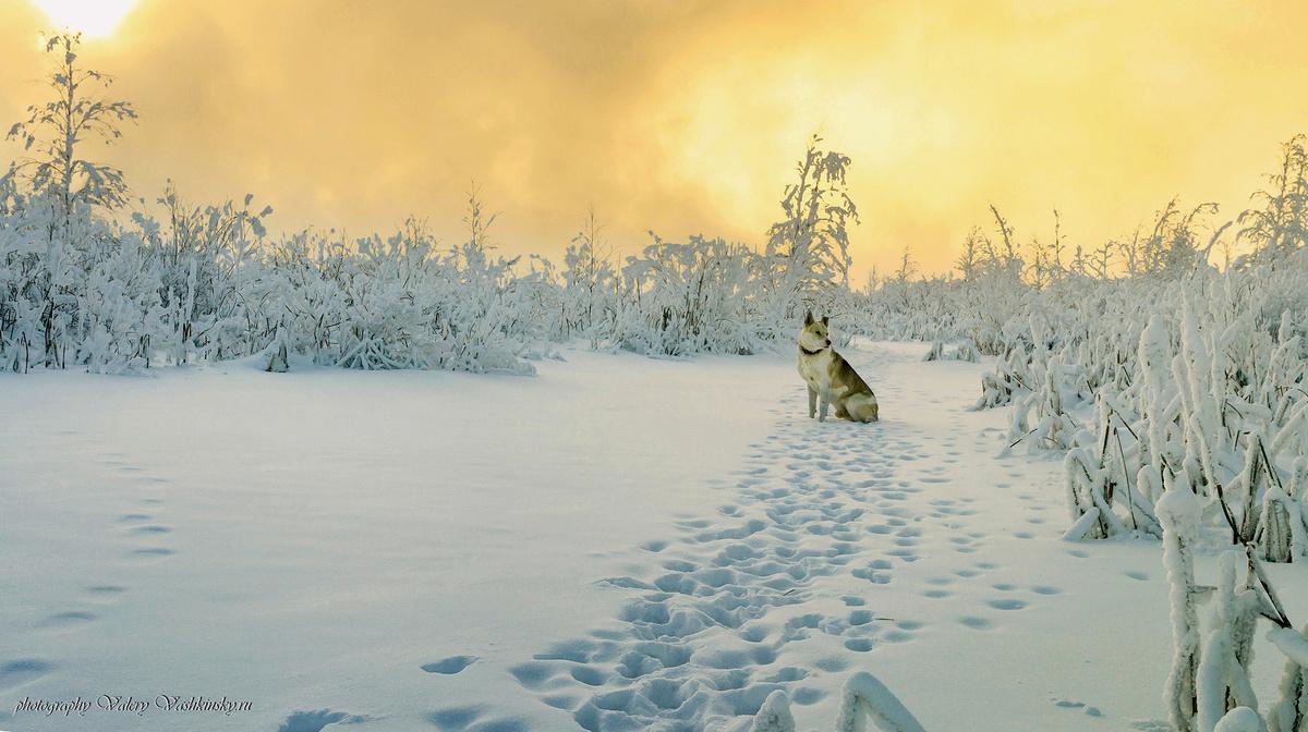 Фото Собака сидит на снегу. Фотограф Валерий Вашкинский