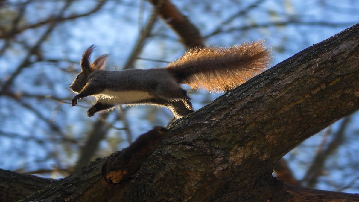 Фото Белка в прыжке. Фотограф Granka