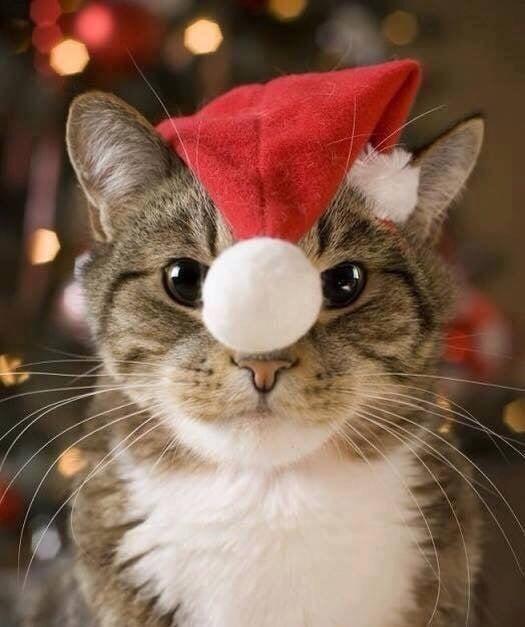 хотите фото котиков в шапочках новогодних отличаются успокаивающие картинки