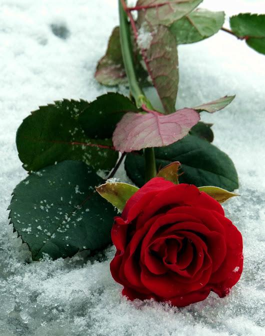 Надписью, картинки роза в снегу на ступени