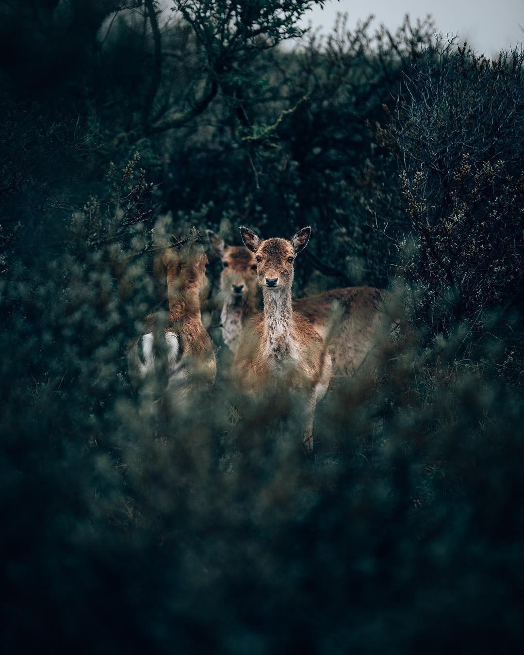 Фото Олени среди растительности, by Philipp Pilz