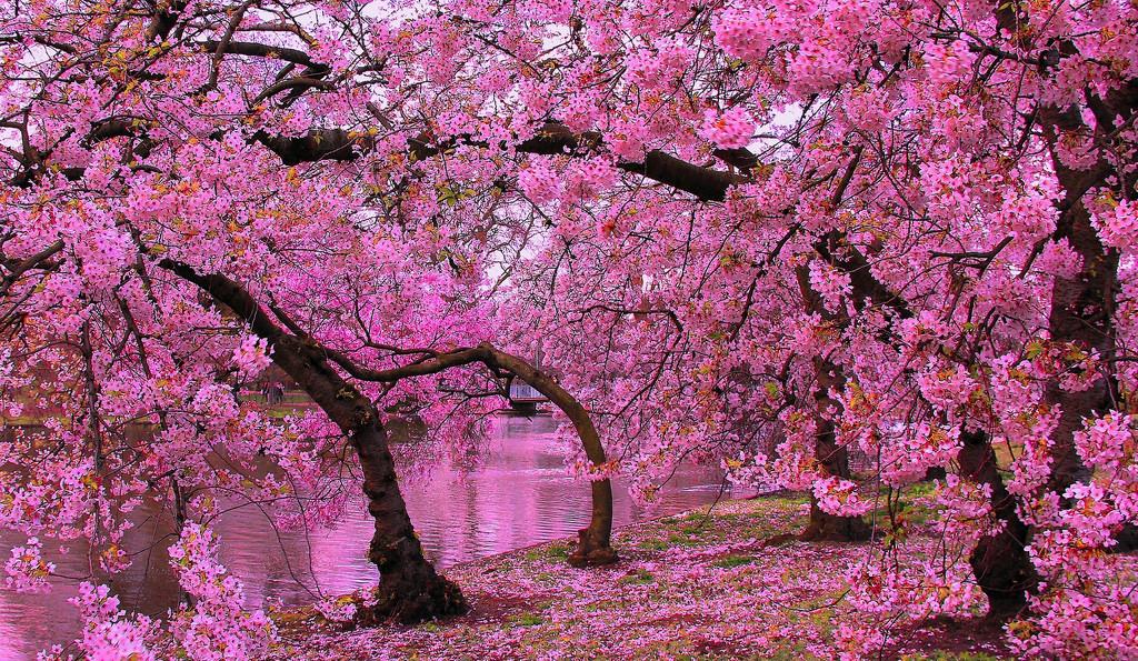Banco de Imagem florescendo, primavera, sakura, árvores, por, rio