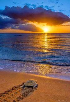 Фото Черепаха ползет к океану, над которым встает солнце