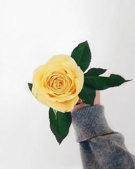 Фото Желтая роза в руке девушки, by annasofiapark