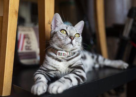 Фото Кошка с ошейником, by Joey Huang