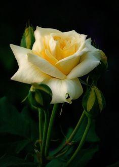 Фото Желтая роза с бутонами, фотограф Юрий Рыжов