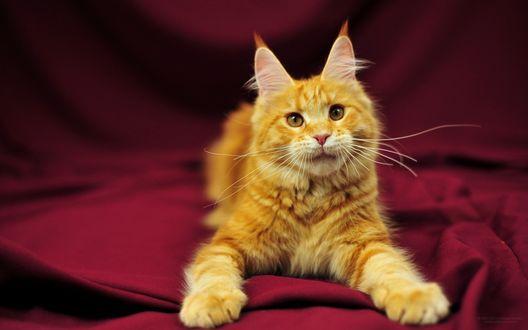 Фото Рыжий кот породы мейн-кун