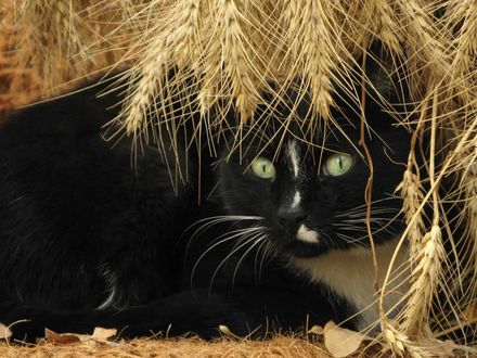 Фото Черная кошка под колосками пшеницы