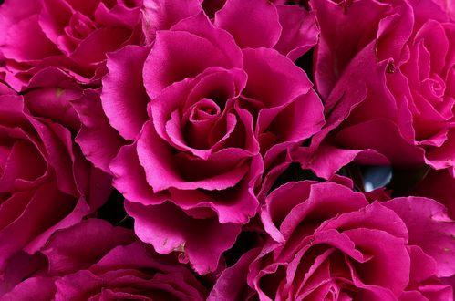 Фото Розовые розы крупным планом