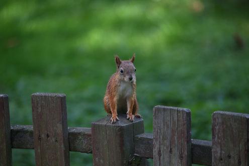 Фото Белка на заборе, фотограф Евгений Пермяков