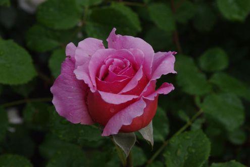 Фото Розовая роза в капельках росы