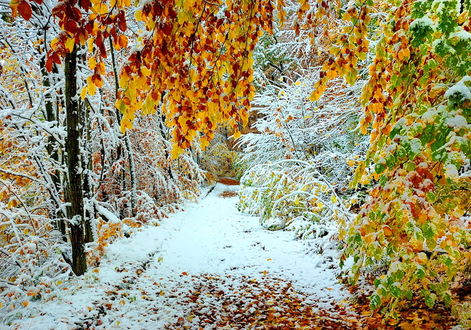 Фото В лес на смену осени пришла Зима и покрыла все снежком