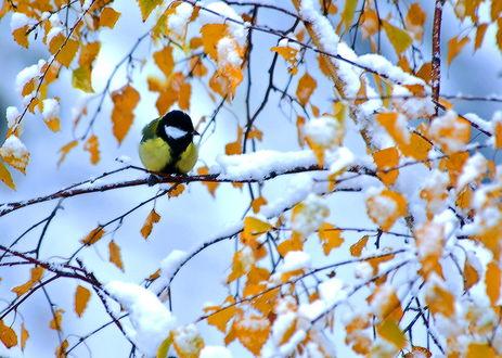 Фото На ветке дерева, среди осенних листьев и снега, сидит одинокая синичка. Фотограф Борис Булгаков