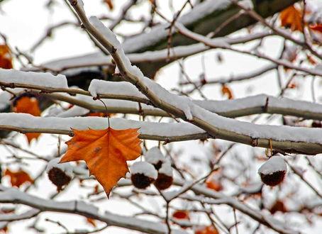 Фото Осенний листок на заснеженной ветке дерева