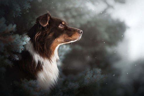 Фото Австралийский овчарка в профиль, by Wolfskuss