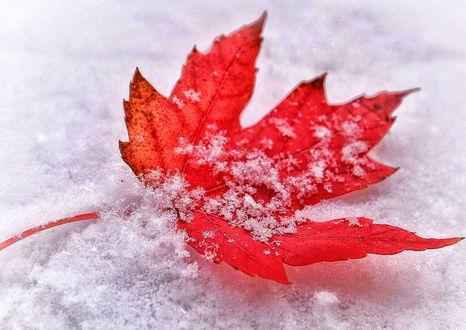 Фото Бордово-красный кленовый лист в снегу и на снегу