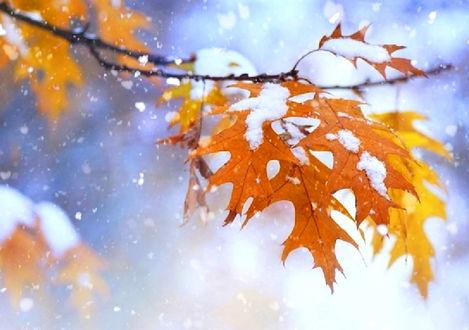 Фото Осенние заснеженные листочки заметает снежком пушистым