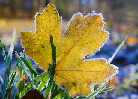 Фото Заиндевелый осенний лист среди зеленой травы в инее