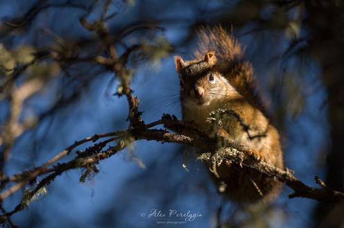 Фото Белка сидит на ветке дерева. Фотограф Алексей Перелыгин