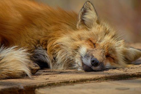 Фото Спящая рыжая лиса на деревянном помосте