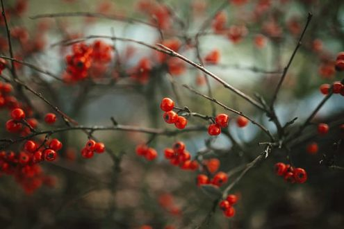 Фото Ягоды на ветке дерева, by baxiaart