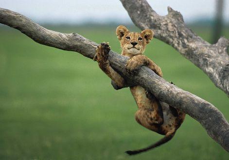 Фото Львенок висит на сухом дереве, by Beverly Joubert