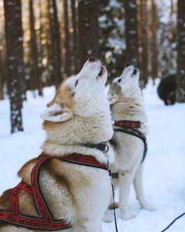 Фото Две воющих лайки, by Денис Проскурин
