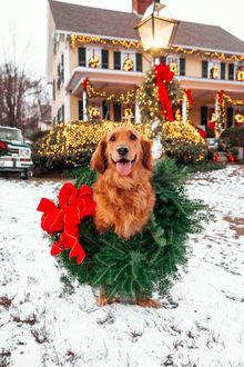 Фото Пес породы золотистый ретривер в новогоднем венке сидит на снегу у украшенного дома, by Kiel James Patrick / Киль Джеймс Патрик