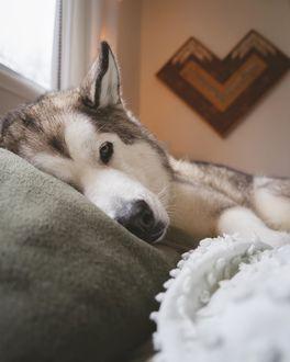 Фото Хаски лежит в кровати, by Nick Terrel
