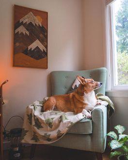 Фото Корги смотрит в окно, лежа в кресле, by Nick Terrel