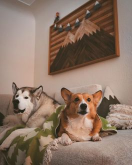Фото Хаски и корги лежат на диване, by Nick Terrel