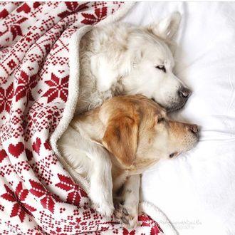Фото Два спящих пса под покрывалом
