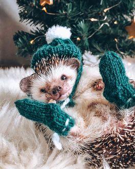 Фото Ежик в вязаной шапочке и носочках лежит на меховом пледе около елки, автор Mr. Pokee the Hedgehog