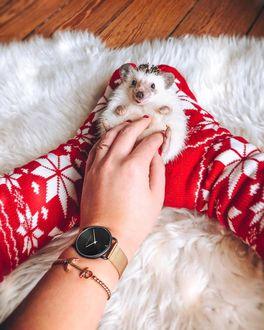Фото Девушка гладит ежика, лежащего у нее в ногах, автор Mr. Pokee the Hedgehog