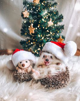 Фото Ежик и плюшевая игрушка ежика в новогодних колпаках лежат на меховом пледе перед новогодней елкой, автор Mr. Pokee the Hedgehog