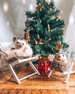 Фото Ежик и плюшевый игрушка сидят в раскладных стульчиках возле новогодней елки, автор Mr. Pokee the Hedgehog