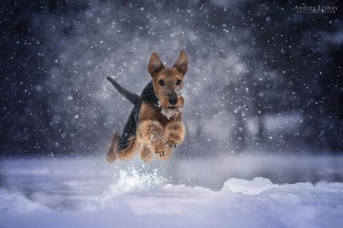 Фото Собака в прыжке над снегом. Фотограф Андрей Ершов