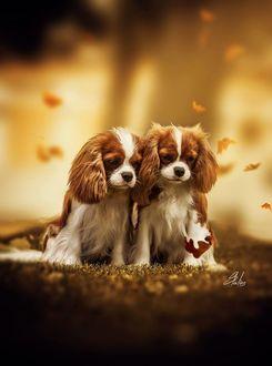 Фото Два милых щенка породы кавалер кинг-чарльз-спаниель