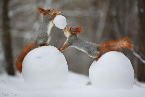 Фото Зимние игры белок в снежки. Фотограф Вадим Трунов (© zmeiy), добавлено: 29.12.2018 23:28