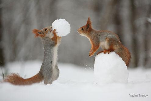 Фото Зимние игры белок в снежки. Фотограф Вадим Трунов (© zmeiy), добавлено: 29.12.2018 23:30