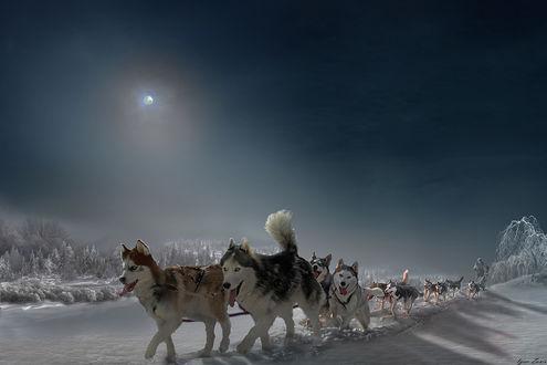 Фото Собаки породы хаски, бегущие по снегу. Фотограф Igor Zenin
