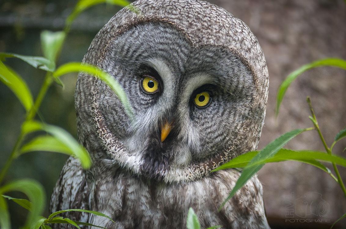 представлены все сова с желтыми глазами фото бесплатно широкоформатные обои