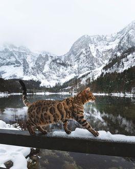 Фото Кошка прогуливается по деревянным перилам, by Laura Vilser
